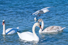 White swans and seagul Royalty Free Stock Photography