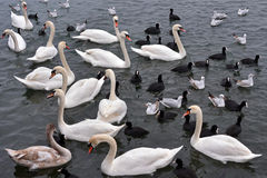 White swans, seagulls and coots Stock Image