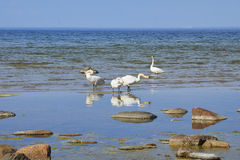 White swans standing on the sand island Royalty Free Stock Photo