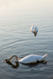 White swans on the summer lake swimming. Morning scene Royalty Free Stock Photo
