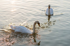 White swans and on the summer lake swimming. Morning scene Stock Photos