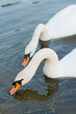 White swans on the summer lake swimming. Morning scene Royalty Free Stock Photography
