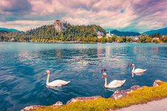 White swans in summer sunny day on Bled Lake Stock Photos