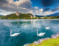 White swans in summer sunny day on Bled Lake Royalty Free Stock Photo