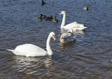 White swans swim Stock Photo