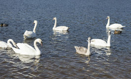 White swans swim Royalty Free Stock Image