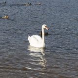White swans swim Royalty Free Stock Images