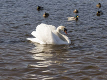 White swans swim Royalty Free Stock Photography