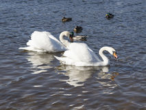 White swans swim Stock Image