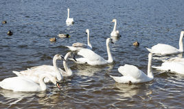 White swans swim Royalty Free Stock Photo