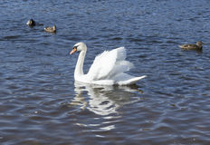 White swans swim Stock Images