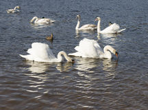 White swans swim Stock Photos