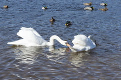 White swans swim Stock Photography