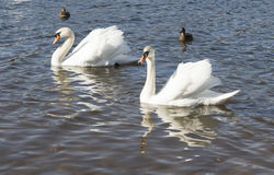 White swans swim Royalty Free Stock Photos