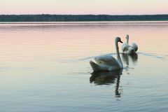 White swans swim in the lake during sunset. Nature royalty free stock photos
