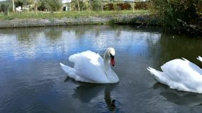 White swans swim in a pack and alone stock video footage