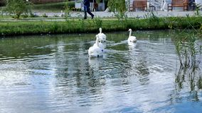 White swans swim in a pack and alone stock footage