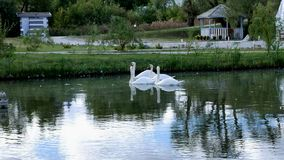 White swans swim in a pack and alone stock video