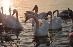 White swans swim in the sea against a bright sunset. Royalty Free Stock Photos