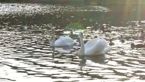 White swans swimming on frozen lake. Birds on blue water near ice. White swans in cold water. Swan couple. Swimming birds on winter river. Beautiful birds stock footage