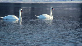 White swans swimming on frozen lake. Birds on blue water near ice stock footage