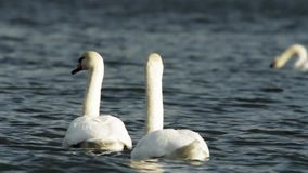 White swans swimming in a lake stock footage