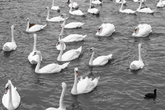 White swans swimming in lake. Beautiful natural view with many w Stock Photography