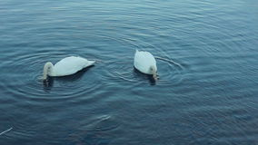 White swans swimming in lake. Swan couple. White birds on river. White swans swimming in lake. Swan on blue water. White birds on river. Swans on pond, nature stock video footage