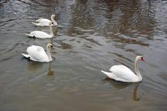 White swans swimming Stock Photo