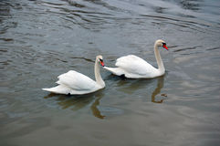 White swans swimming Stock Photography