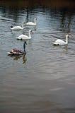 White swans swimming Royalty Free Stock Image
