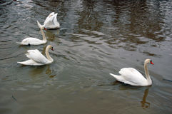 White swans swimming Royalty Free Stock Images