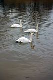 White swans swimming Stock Images