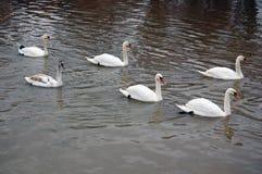 White swans swimming Royalty Free Stock Photo