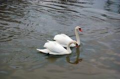 White swans swimming Stock Photos