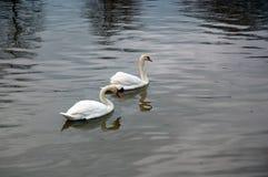 White swans swimming Royalty Free Stock Photos