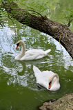 White swans swimming in a pond. Stock Photos
