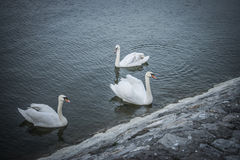 White Swans. Swimming on the river Danube Royalty Free Stock Photos
