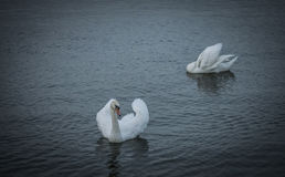 White Swans. Swimming on the river Danube Royalty Free Stock Photography