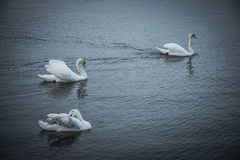 White Swans. Swimming on the river Danube Royalty Free Stock Images