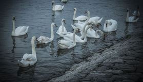 White Swans. Swimming on the river Danube Stock Photos