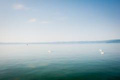 White swans swims on a lake in haze morning Stock Image