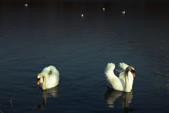 White swans Stock Photos