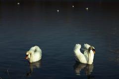 White swans. Two white swans on a dark blue lake. Copyspace on top Stock Photos