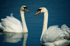 White swans. Two white swans face to face on a dark blue lake Stock Photography