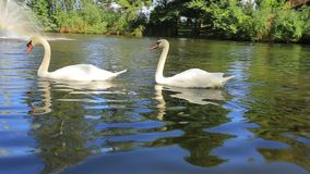 White swans. Two white swans swimming in a lake stock footage