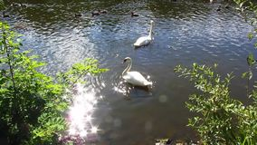 White swans. Two white swans swimming in a lake stock video footage