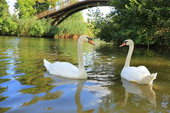 White swans Royalty Free Stock Photo