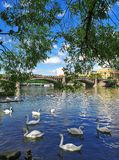 White swans floating on the water stock photo