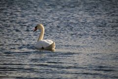 Swans are waiting for spring on the lake stock photos